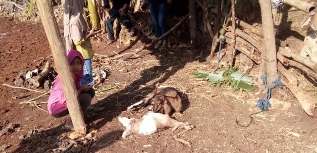 Serangan Hewan Liar Kembali Terjadi di Gunungkidul, Belasan Ternak Milik Warga jadi Korban 149
