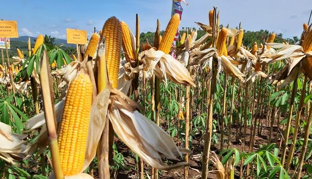 Sumbang 70 Persen dari Total Produksi Pertanian, Gunungkidul Jadi Lumbung Pangan DIY 157