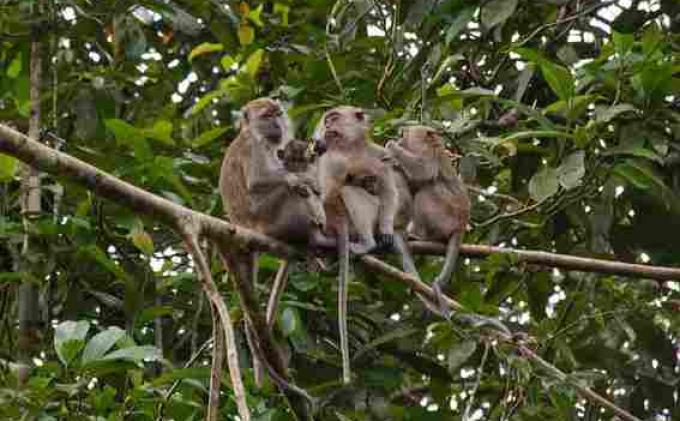 Puluhan Hektar Lahan Pertanian Diacak-acak Monyet, Pemkal Kemadang Bakal Datangkan Pawang 149