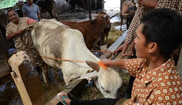 Banyak Kasus Kawin Suntik pada Ternak Gagal, Ini Penjelasan Dinas 145