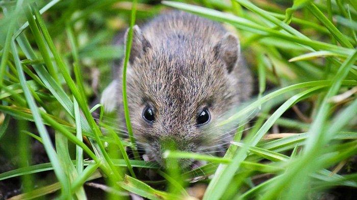 Terlalu Berisiko, DPP Gunungkidul Larang Petani Basmi Tikus Menggunakan Listrik 157