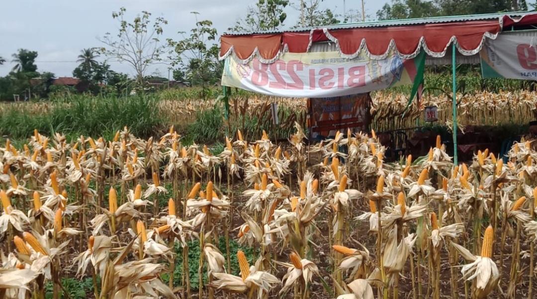 Berkah di Akhir Musim Kemarau, Petani Bendung Panen 7,3 Ton Jagung Hibrida 157