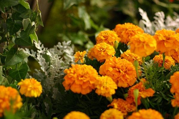 Tujuh Manfaat Bunga Marigold Bagi Kesehatan 157