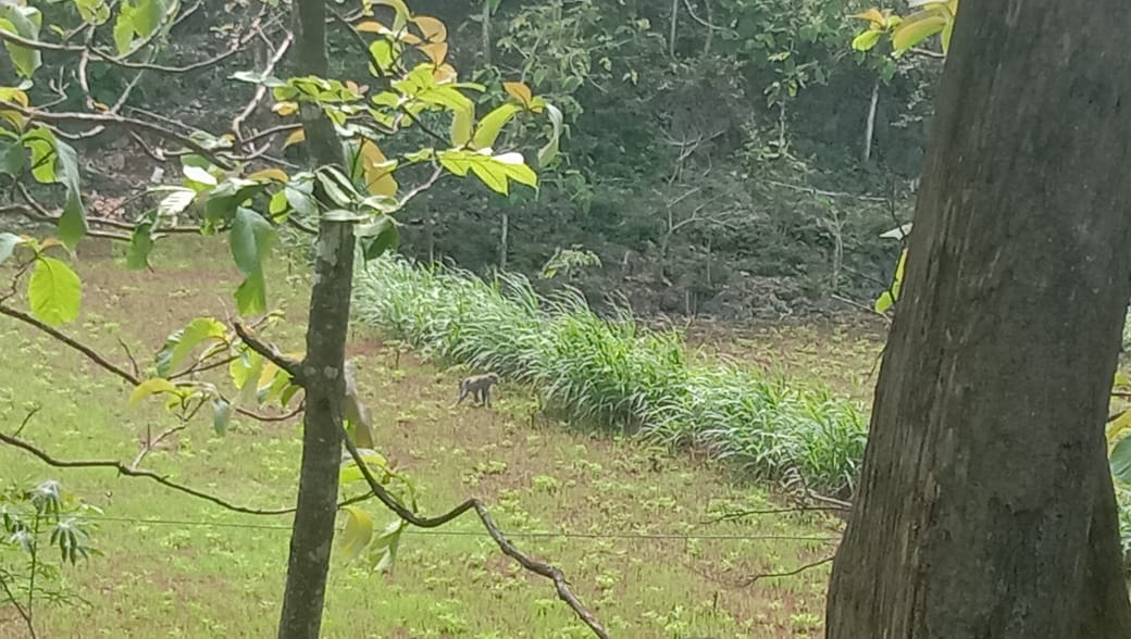 Masuki Musim Tanam, Kawanan Monyet Ekor Panjang Resahkan Petani di Tanjungsari 157