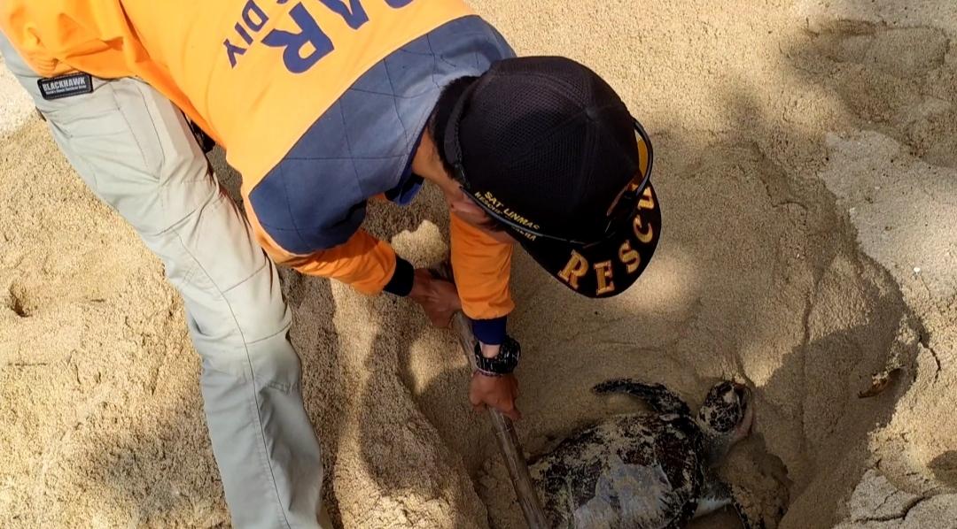Penyu Seberat 30 Kilogram Ditemukan Mati di Pantai Sepanjang 157