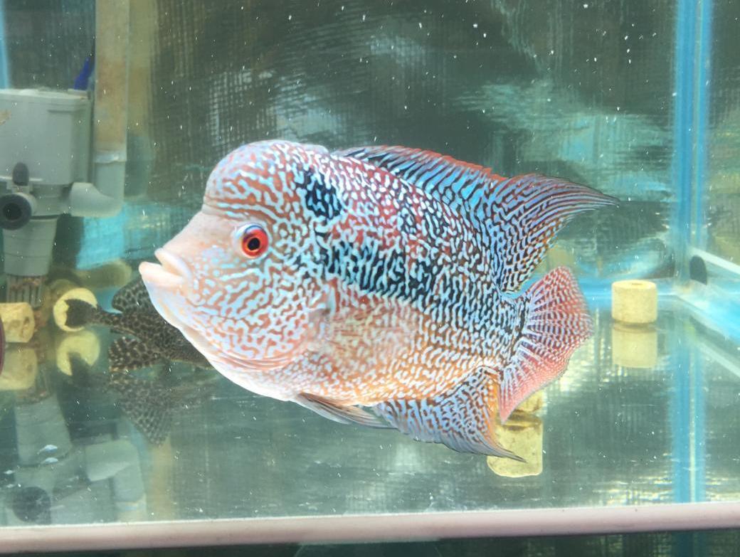 Budidaya Ikan Louhan, Solusi Bisnis Menguntungkan di Masa Pandemi 161