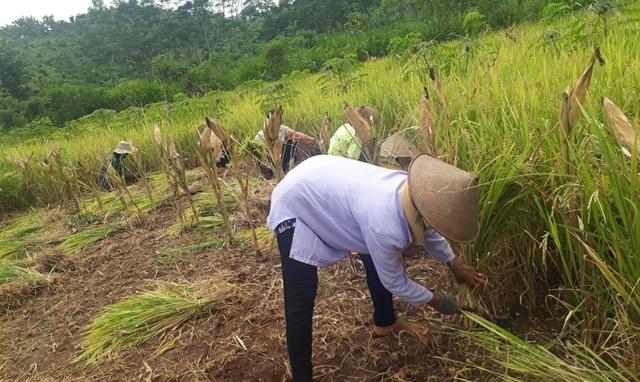 Cocok Ditanam di Lahan Kering dan Tahan Hama, Hasil Panen Inpari 42 Petani Tanjungsari Capai 5 Ton Per Hektar 157