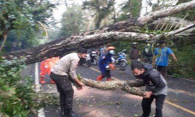 Pohon Wali Kukun Tumbang Menutup Jalan, Jalur Jogja-Wonosari Sempat Macet Total 208